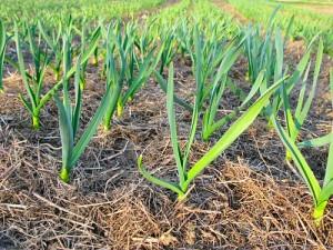 Выращивание чеснока, чеснок на дачном участке