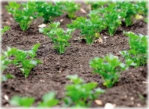 Выращивание зелени на даче, петрушка