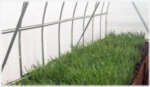 Бизнес на дачном участке, выращивание зелени