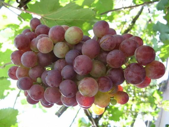 Созревающий виноград
