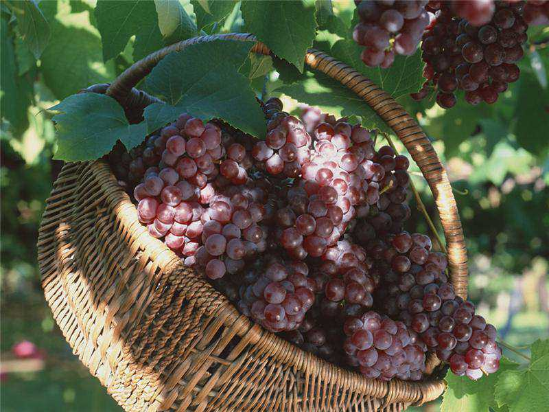 Урожай тепличного винограда