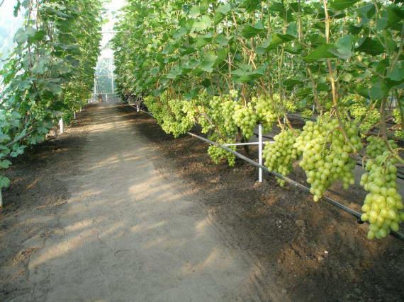 Виноградник в теплице