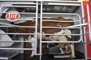 Корова во время доения роботом