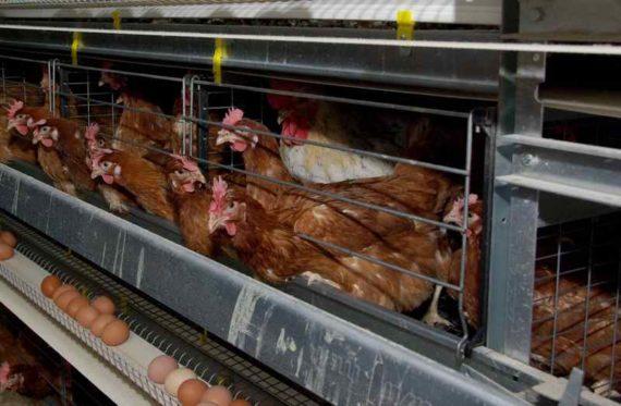 Курицы в клетках