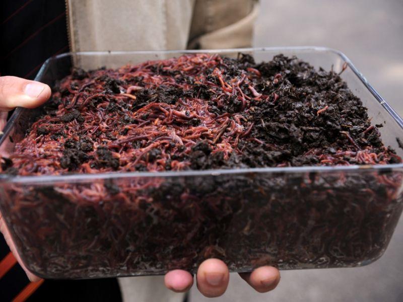 Успешный бизнес на разведении червей для рыбалки