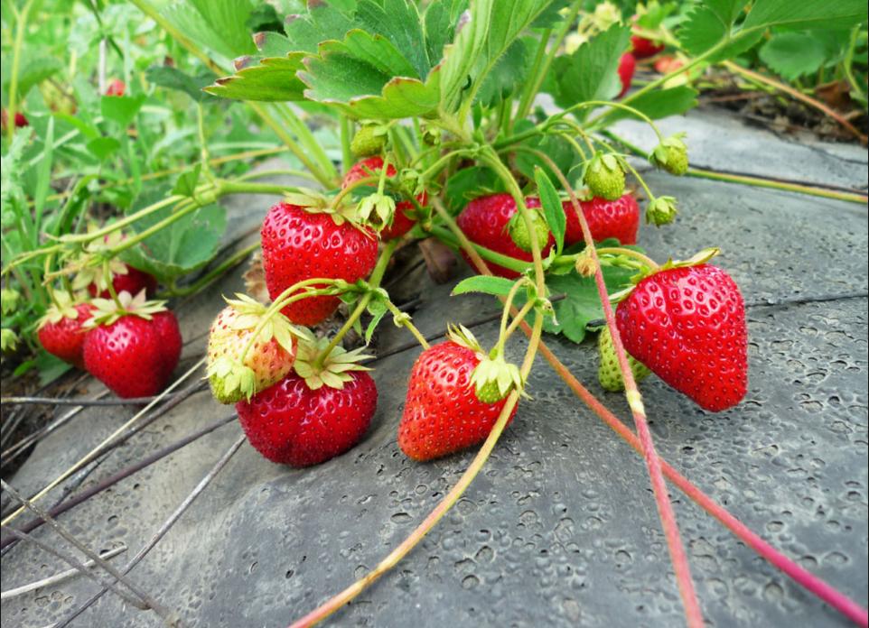 Как организовать свой бизнес по выращиванию клубники
