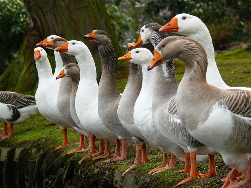 Как организовать свой бизнес по разведению гусей