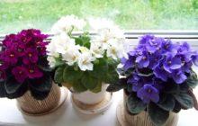 Бизнес с нуля для женщин — выращивание сенполий в комнатных условиях