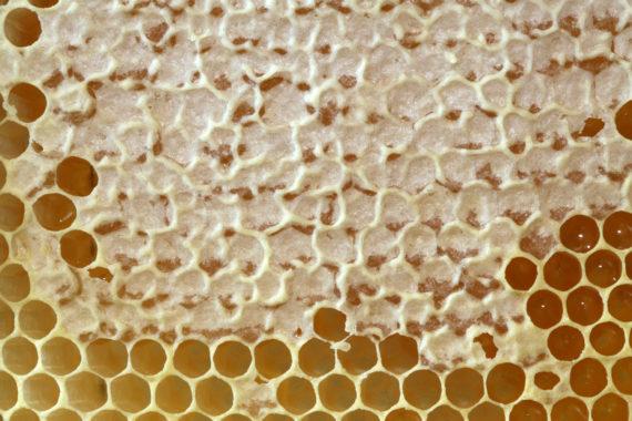 Соты с мёдом, запечатанные забрусом